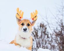 Funny Red Corgi Puppy Sitting...
