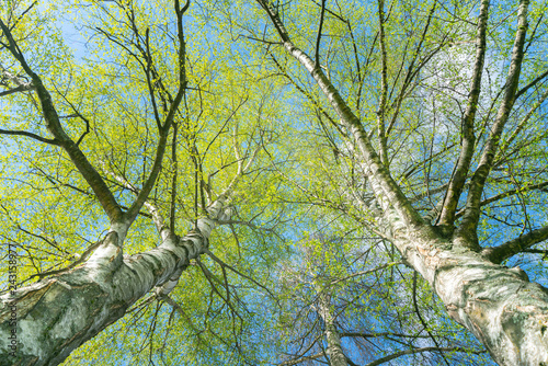 Fotografie, Obraz Looking up through silver birch trees with spring growth