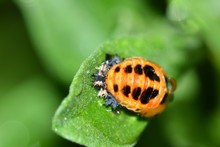 An Asian Lady Beetle Pupa Attached To A Green Leaf. Soon It Will Split Open And A New Ladybug Will Emerge From The Shell.