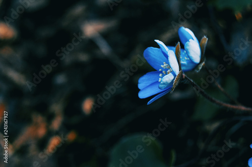 Fotobehang Natuur Two blue flowers of anemone hepatica