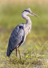 Grey Heron Waiting In Wetland