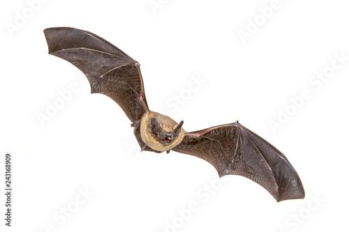 Fotografie, Obraz  Flying Pipistrelle bat isolated on white background