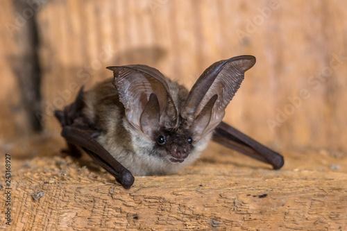 Fényképezés  Grey long eared bat
