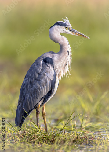 Fotomural Grey heron waiting in wetland