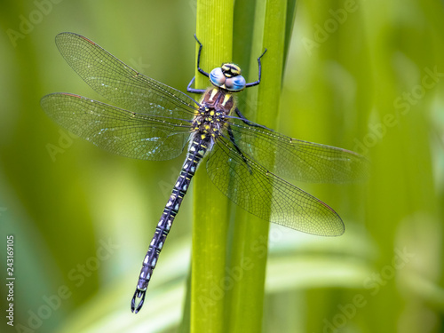 Canvas Print Hairy dragonfly
