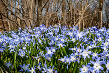 Close-up From Many Spring Flowers Named Squill (genus Scilla), Which Grow On A Forest Glade.