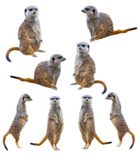 Meerkats Isolated On White Bac...