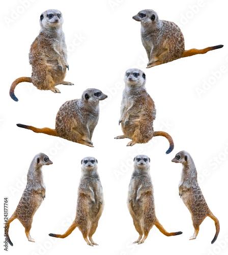 Photo Meerkats isolated on white background
