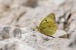 Pieridae / Sarı Azamet / / Colias crocea