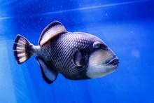 Macro Fish Blue-necked Balisto...