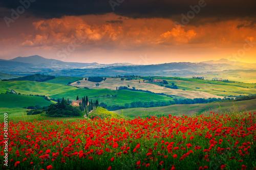 Fototapeta Beautiful red poppies blossom on meadows in Tuscany, Pienza, Italy obraz na płótnie