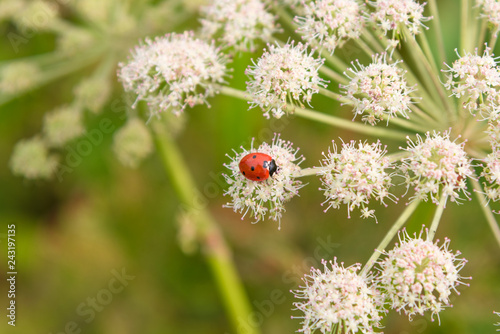 Ladybug on Angelica sylvestris flower close-up - macro. Beautiful summer floral background.