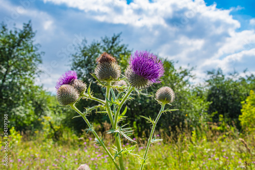 Photo Bush blooming burdock on the summer field, close-up.