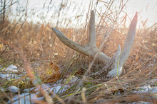Whitetail Shed In A Field With...