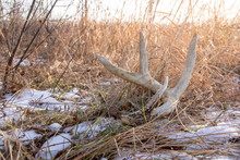 Whitetail Shed In A Field. Ant...