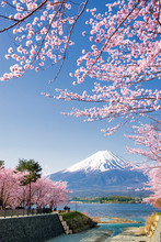Fuji Mountain And Pink Sakura Branches At Kawaguchiko Lake In Spring, Japan