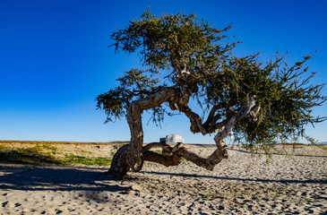 Samotne drzewo oliwne na plaży