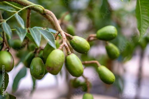 Brazilian caja plant