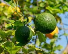 Close-up Of Lime Growing On Tree