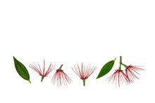Red Pohutukawa Tree Flowers Isolated On White Background With Copy Space Above