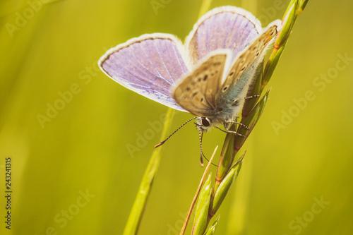 Obraz na plátně  бабочка яркая летает на природе