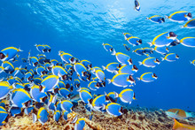 School Of Powderblue Surgeonfish