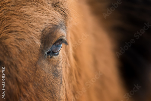 Eye of Arabian bay horse Fototapet