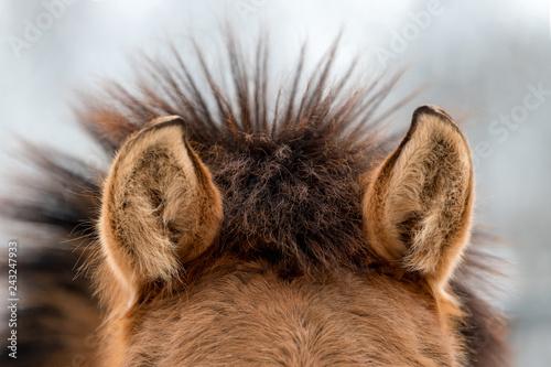 Ears brown horse Fototapet