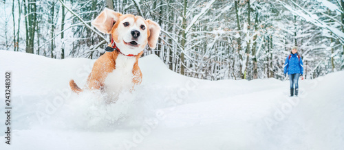Photo  Active beagle dog running in deep snow