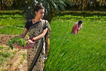 Rural Woman Carrying Leafy Vegetables In A Plastic Gold Pan Working In Agriculture Field Along With Her Daughter On A Sunny Day.