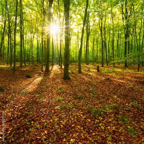 Fototapeten Wald Sunny Forest of Beech Trees