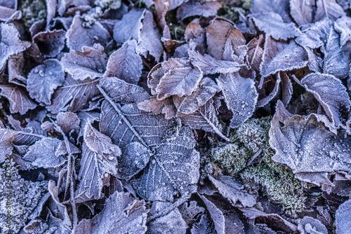 Fényképezés  Foglie con brina ghiacciata in inverno