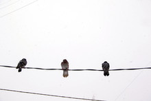 Three Pigeons Sitting On Wires Against The Background Of The Dark Winter Sky