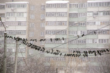 Group Of Pigeons Sitting On Wires Against The Background Of The Dark Winter Sky Heavy Snowfall And Snow-covered Multistory Building