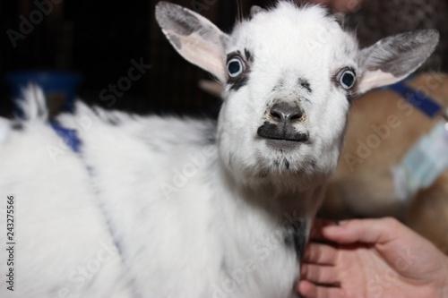 Foto auf AluDibond Lama BLACK & WHITE BABY GOAT