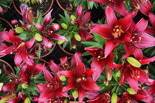 Red Lilly Flowers Texture