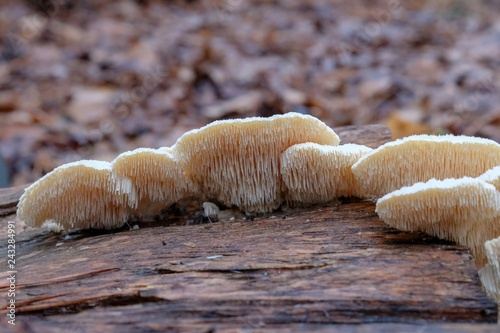 Vászonkép Underside view of spongy-toothed polypore (Spongipellis pachyodon) growing on decaying wood at Crowder County Park in Apex, North Carolina