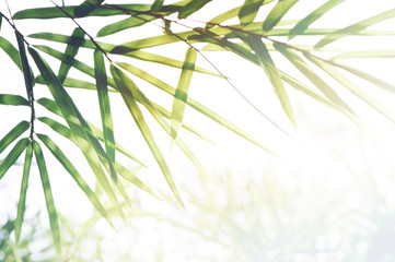FototapetaBamboos Forest or bamboo foliage and sunlight and space for text