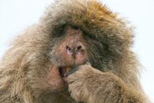 Barbary Ape Chews On Some Food,  Gibraltar, UK