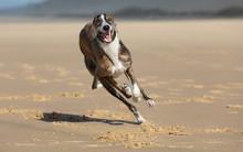 Spanish Greyhound Racing On Beach, Closeup.
