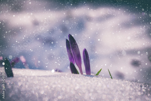 Stickers pour porte Crocus First spring flowers, purple crocus or saffron growing from the snow, natural floral vintage background with falling snowflakes