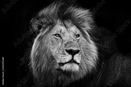 Fototapety, obrazy: Portrait of one of the Black Rock Lions in Masai Mara, Kenya