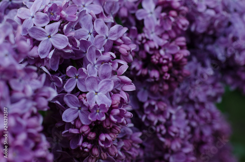 Foto op Plexiglas Lilac Close up picture of bright violet lilac flowers. Abstract romantic floral background.