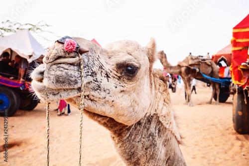 Pushkar Desert, Rajasthan, India, February 2018: Camel and vehicle at Pushkar desert