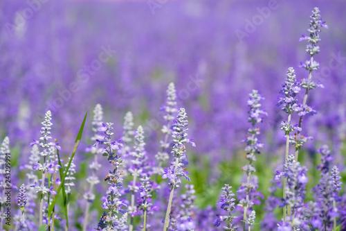 Spoed Foto op Canvas Lavendel Beautiful Blooming Purple Salvia (Blue sage) flower field in outdoor garden.Blue Salvia is herbal plant in the mint family. - Image