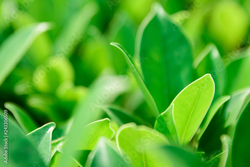 Fototapeta Closeup nature green for background/texture leaf blurred and green natural plants branch in garden at summer under sunlight concept design wallpaper view with copy space add text. obraz na płótnie