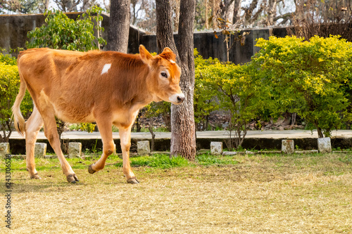 Photo  Young cow calf walking in thge ground
