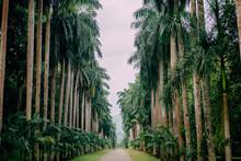 Palm Alley In Botanical Garden, Kandy Sri Lanka