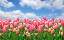 A Field Of Pink Tulips Against...