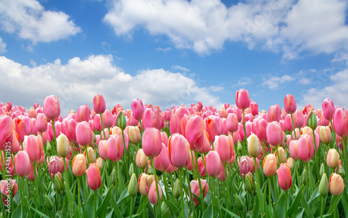 A field of pink tulips against a clear cloudy sky